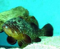 Una Cernia Matilde - Acquario di Giarre (CT)