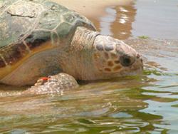 Una tartaruga ''Carretta carretta'' nella acque di Lampedusa