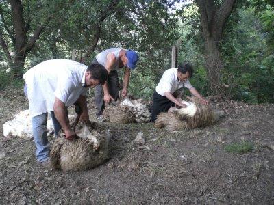 Atto della tosatura delle capre -- foto: Vincenzo Raneri